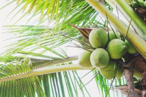 Kokosnüsse am Baum